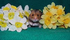 Happy Easter! (.annajane) Tags: easter spring daffodils flowers hamster syrianhamster mesocricetusauratus rocket rocky pet cute