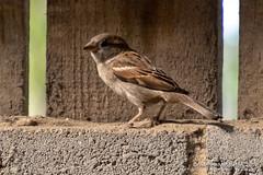 Mead Open Farm (Ashley Middleton Photography) Tags: animal bedfordshire billington bird england europe housesparrow meadopenfarm sparrow unitedkingdom