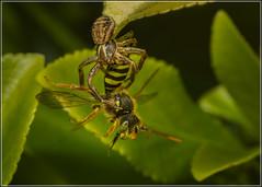 The moment of capture ... (Ed Phillips 01) Tags: crad spider cuckk bee predator predation prey capture