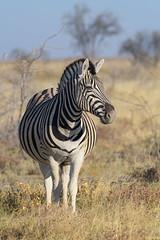 Plains Zebra (ttarpd) Tags: republic namibia southern subsaharan africa safari nature wild wildlife etosha national park salt pan waterholes game reserve animal animals plains common burchell burchells zebra plainszebra equus quagga commonzebra burchellszebra social