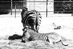 20.04.2019 12-17-2400_1 (TheFan1968) Tags: berlin tierpark friedrichsfelde tier zebra