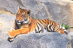 20.04.2019 12-11-5600 (TheFan1968) Tags: berlin tierpark friedrichsfelde tier tiger katze