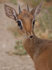 Thomas's Dik-dik Madoqua [kirki] thomasi (nik.borrow) Tags: mammal dikdik antelope bovine tarangire