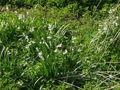 Loddon Lilies April 2019 (2) (karenblakeman) Tags: readinggreendrinkswalk loddon berkshire uk april 2019 loddonlily leucojumaestivum flowers