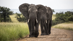 African Elephants - Kruger National Park (BenSMontgomery) Tags: african elephants kruger national park s90 satara bush wildlife safari sanpark south africa road