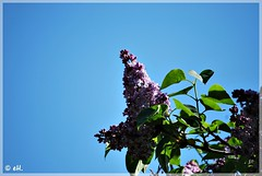 Mmm... the sweet smell of lilacs (Els Herten) Tags: lilac flower sky plant schaerbeek brussels city belgium