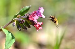 Иди ко мне, моя прелесть! (Yuriy Kuzmenok) Tags: природа весны цветы медуница насекомые жужа