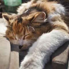 IMG_4153 (gidlark) Tags: sleep animal cat pet mammal