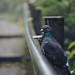 Pigeon on a hike