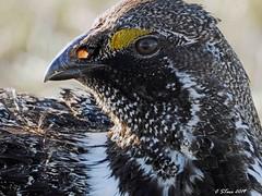 DSCN3672 sage grouse (starc283) Tags: starc283 nature naturesfinest natures naturewatcher bird birding birds flickr flicker wildlife lek sage sagegrouse grouse