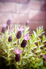 Lavanda (BarbaraSimoni) Tags: flowers lavanda balcone spring primavera lilla sunlight