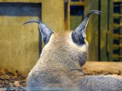 Les oreilles du Caracal (Mhln) Tags: ménagerie zoo zoologique parc park paris france 2019 animaux sauvages préservation
