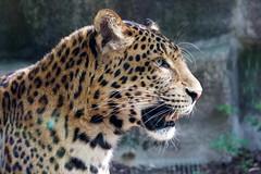 Panthère de Chine du Nord (3) (Mhln) Tags: ménagerie zoo zoologique parc park paris france 2019 animaux sauvages préservation