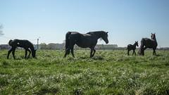 Black Horses - mums & foals (Drummerdelight) Tags: captiveanimals horses lowpov