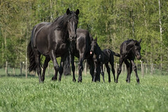 Black Horse - Mums & Foals (Drummerdelight) Tags: captiveanimals horses lowpov
