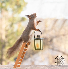 red squirrel holding a lantern on stairs with open mouth (Geert Weggen) Tags: squirrel humor animal stunt circus photography concepts red rodent sweden balance care celebration cheerful closeup colorimage conceptstopics cute engine horizontal lifestyles loveemotion mammal nature outdoors vacations wallpaperdecor tivoli act lantern stairs light lamp openmouth song sing bispgården jämtland geert weggen ragunda hardeko
