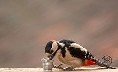 adult male great spotted woodpecker eating out of a bucket (Geert Weggen) Tags: animal balance bird body bright closeup cute eye humor ground greatspottedwoodpecker dendrocoposmajor nature bucket food eat red sweden male adult geert weggen jämtland ragunda bispgården hardeko