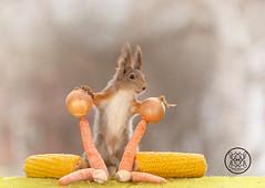red squirrel holding on to two onions on carrots (Geert Weggen) Tags: mammal rodent squirrel nature animal red closeup cute funny happy summer ground spring bright light look tender love wondering corn food vegetable health maize mealies onion carrot mushroom geert weggen sweden jämtland ragunda bispgården hardeko