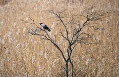 Birds @ Ruskis (aixcracker) Tags: bird fågel lintu flying flygande lentäen lentävä blue blå sininen spring vår kevät easter påsk pääsiäinen april huhtikuu ruskis borgå porvoo suomi finland nikond800 nikon sigmas150600mmf563 wetland delta