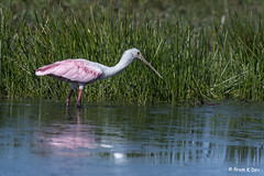 # Roseate Spoonbill.................. (Dr Prem K Dev) Tags: reflection rosy roseate spoonbill pink pleasing pose beautiful bird blue bokeh composition contrast colorful water wildlife wonderful nature america attractive avian usa feeding florida fields celery