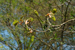 Budding Trees-F4190022 (tony.rummery) Tags: bud closeup em5mkii mft macro microfourthirds omd olympus tree woking england unitedkingdom
