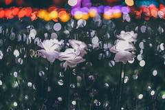 蝴蝶公園地景花海 (aelx911) Tags: a7rii a7r2 sony fe85 fe85f18 landscape night taiwan taipei light 台灣 台北 板橋 地景花海 蝴蝶公園 夜景
