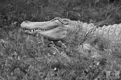Zoo de Sigean (damzed) Tags: pentaxk3 sigma70300apo occitanie aude sigean zoo règneanimal mammifère monochrome noiretblanc reptile alligator