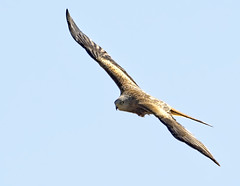 Red Kite 2 21 Apr (Tim Harris1) Tags: nikond7100 nikkor80400afs helhoughton norfolk bird redkite
