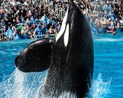 Ventral Push (CetusCetus) Tags: seaworld sea world shamu orca whale dolphin killerwhale sandiego swsd seaworldsandiego mission california swc seaworldcalifornia orcaencounter shamushow ulises water animal