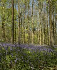 Wilde hyachinten / Hyacinthoides non-scripta (m.ritmeester) Tags: ngc naturelovers natuur blauw bruin bomen bos belgie hallerbos halle wilde hyacinten groen