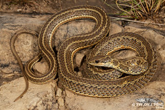 Psammophylax rhombeatus rhombeatus - Spotted/Rhombic Skaapsteker. (Tyrone Ping) Tags: freestate psammophylax rhombeatus spottedrhombic skaapsteker golden gate nationla park sanparks south africa tyrone ping wwwtyronepingcoza venomous snake snakes wildf wildlife nature natural canon 5dmiii 100mmmacrof28 mt24ex macro field guide creature critter beautiful life reptiles southern herps herping herpetology