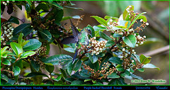 PURPLE-BACKED THORNBILL Female Ramphomicron microrhynchum Drinking Nectar at Yanacocha in Northwestern ECUADOR. Hummingbird Photo by Peter Wendelken. (Neotropical Pete) Tags: purplebackedthornbill purplebackedthornbillfemale purplebackedthornbillinecuador purplebackedthornbillatyanacocha purplebackedthornbillfeeding thornbill hummingbird picoespinadorsipúrpura picoespina colibri picaflor chupaflor ramphomicronmicrorhynchum ramphomicron trochilidae ecuadorhummingbirds southamericanhummingbirds ecuadorbirds southamericanbirds neotropicalbirds andeanhummingbirds yanacochabirds aves yanacochareserve volcánpichincha pichinchaprovince quito ecuador hummingbirdphotobypeterwendelken peterwendelken