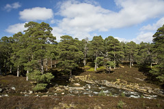 River in the Forest (steve_whitmarsh) Tags: aberdeenshire scotland scottishhighlands highlands mountain hills landscape cairngorms trees topic