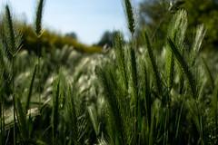 MAG_3854 (emme_ro) Tags: natura nature natural nikon nikond7200 grain grano verde green