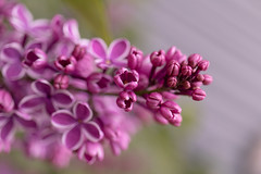Lilac in front yard 💜 (Dotsy McCurly) Tags: lilac plant flower nature beautiful yard nj newjersey canoneos80d efs35mmf28macroisstm