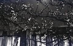 img266 (Vakkor's Photostream) Tags: analog analogfilm technicalfilm kodak rodinal nikonn90s flowers spring micronikkor5528ais selfdeveloped nature