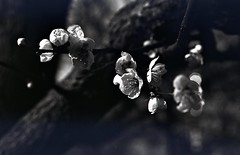 img261 (Vakkor's Photostream) Tags: analog analogfilm technicalfilm kodak rodinal nikonn90s flowers spring micronikkor5528ais selfdeveloped nature