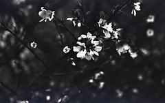 img252 (Vakkor's Photostream) Tags: analog analogfilm technicalfilm kodak rodinal nikonn90s flowers spring micronikkor5528ais selfdeveloped nature