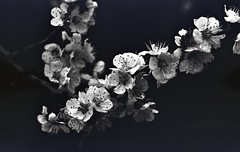 img248 (Vakkor's Photostream) Tags: analog analogfilm technicalfilm kodak rodinal nikonn90s flowers spring micronikkor5528ais selfdeveloped nature
