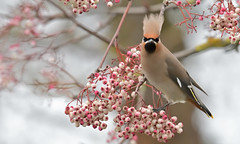 Waxwing (KHR Images) Tags: waxwing bohemianwaxwing bombycillagarrulus wild bird migrant berries kettering northamptonshire wildlife nature nikon d500 kevinrobson khrimages
