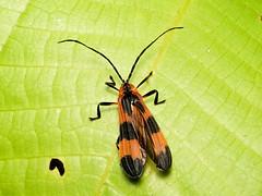 Net-winged beetle, Calopteron sp., Lycidae (Eerika Schulz) Tags: netwinged net winged beetle calopteron lycidae käfer ecuador puyo eerika schulz