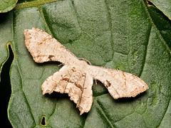 Epiplema sp., Epipleminae, Uraniidae (Eerika Schulz) Tags: nachtfalter falter butterflay motte moth ecuador puyo eerika schulz uraniidae epipleminae epiplema