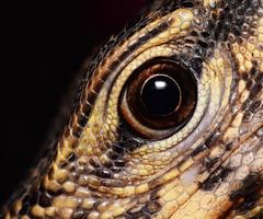 Water Monitor Lizard Eye (Craig Tuggy) Tags: bangkok macro eye water monitor lizard young tokina