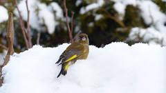 Grønirisk-Greenfinch-Carduelis chloris (Kenneth Gerlach) Tags: haslev regionzealand denmark
