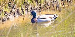 J78A0030 (M0JRA) Tags: rspb blacktoft sands birds flying people ponds lakes trees walks marsh harrier