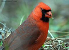 Northern Cardinal (Arvo Poolar) Tags: outdoors ontario canada scarborough rosettamcclaingardens arvopoolar bird nature naturallight natural nikond7000 naturephotography