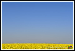 _DSC8806 (nowboy8) Tags: lincolnshire nikon nikond500 wolds rapeseed flowers horses trig trigpoint stjames church sheep fields nature
