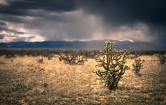 Cholla Cactus (wximagery) Tags: cactus spike thorn ouch annoying hurt pain dry desert desolate remote alone sky rain dramaticsky colorado southwest cholla