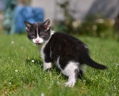 Le chaton (pontfire) Tags: cat cats chat chats minou katze kate gato felin animal animals animaux
