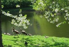 (Off)spring (Elisa1880) Tags: kuikentjes kuiken kuikens chick chicks kuikentje vogel bird animal dier spring lente nederland netherlands loosduinen the hague den haag nijlgans alopochen aegyptiaca egyptian goose